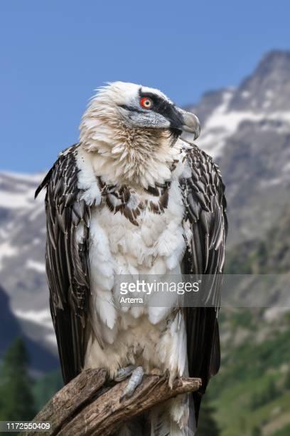 Bearded vulture / LŠmmergeier perched in tree in the Alps