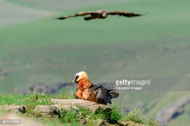 Bearded vulture or lammergeier or ossifrage Gypaetus barbatus adult with a juvenile bird in flight Giant's Castle Game Reserve Ukhlahlamba...