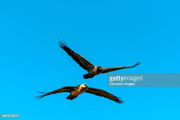 Bearded vulture or lammergeier or ossifrage Gypaetus barbatus adult and juvenile in flight Giant's Castle Game Reserve Ukhlahlamba Drakensberg Park...