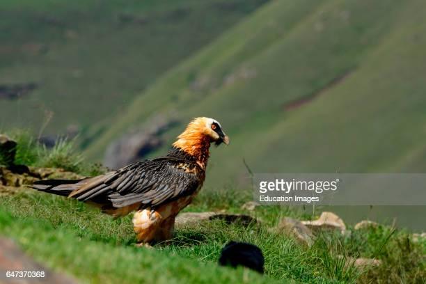 Bearded vulture or lammergeier or ossifrage Gypaetus barbatus Giant's Castle Game Reserve Ukhlahlamba Drakensberg Park KwaZulu Natal South Africa