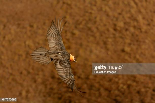Bearded vulture or lammergeier or ossifrage Gypaetus barbatus in flight Giant's Castle Game Reserve Ukhlahlamba Drakensberg Park KwaZulu Natal South...