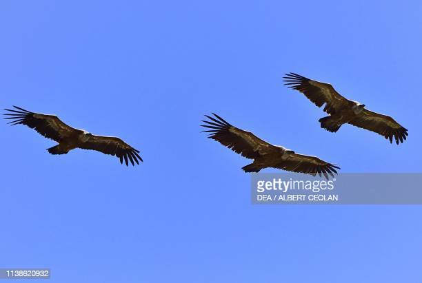 Bearded vultures flying Verdon Gorges ProvenceAlpesCote d'Azur France