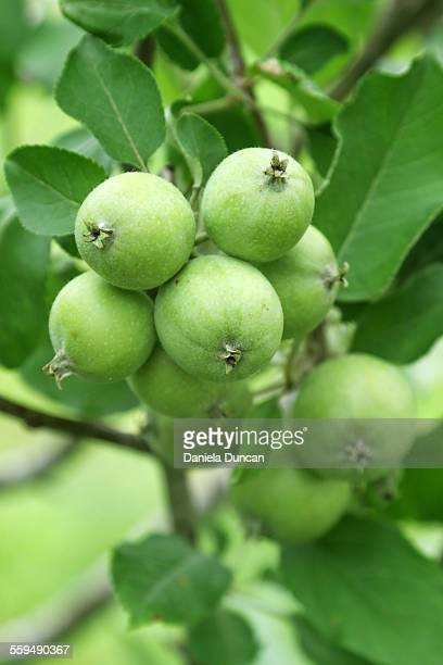 bearing fruit - unripe stock pictures, royalty-free photos & images
