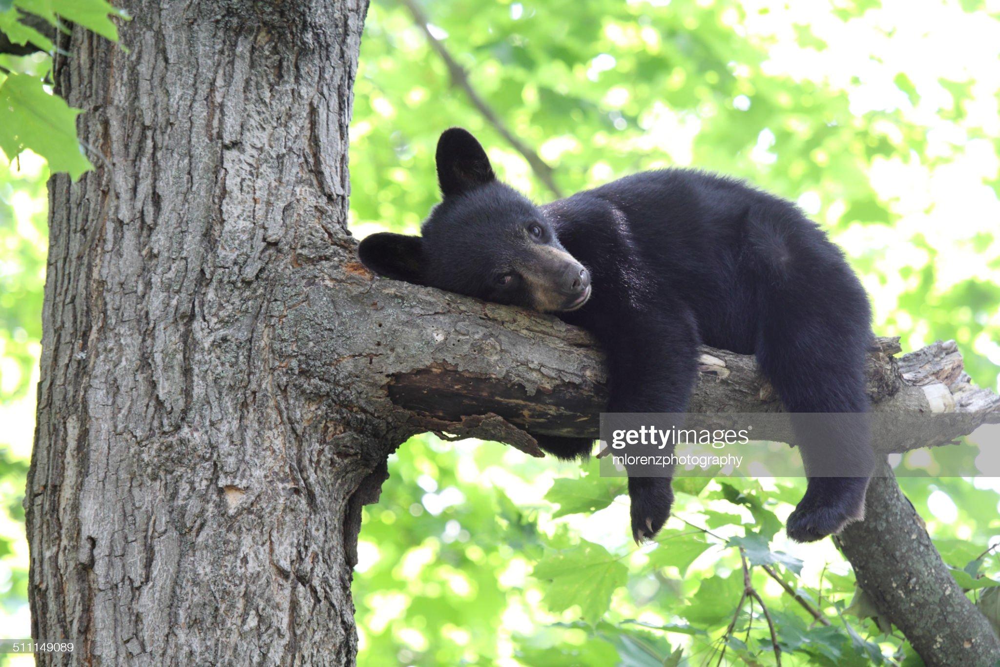 Bearly Awake : Foto stock