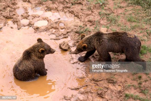Bears bathing