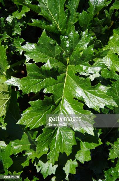 Bear's breeches (Acanthus mollis) leaves