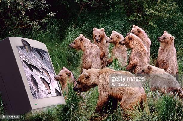 Bears craving virtual salmon