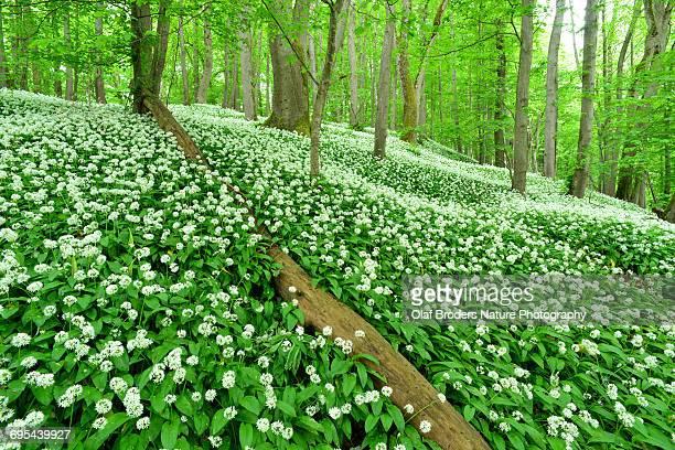 Bear's garlic abundance in beech forest in spring