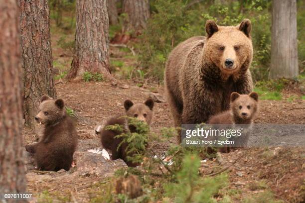 Bears In Forest