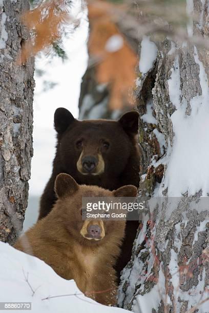 Bears in winter