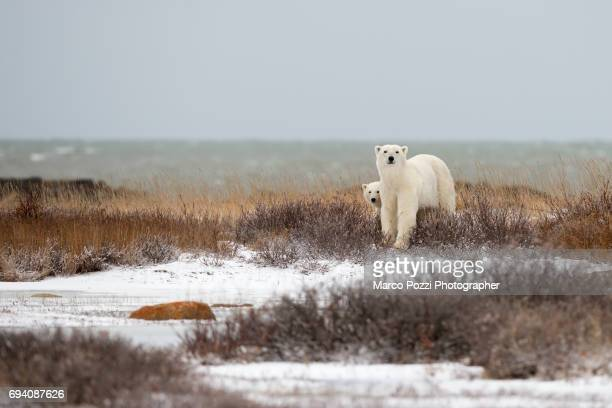 bears of the bay - manitoba stock pictures, royalty-free photos & images