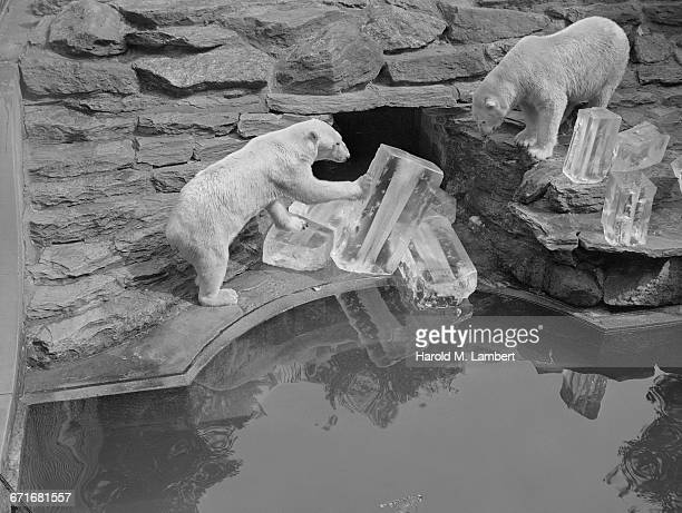 bears pushing ice cubs - pawed mammal stock pictures, royalty-free photos & images