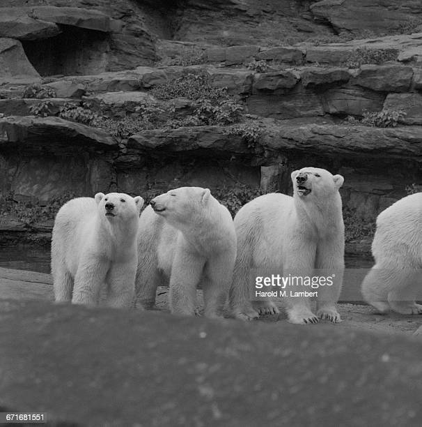 bears standing - number of people stock pictures, royalty-free photos & images