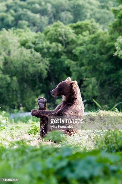 bears yoga - grote borsten stockfoto's en -beelden