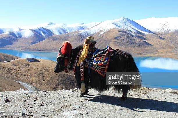beast of burden in tibet - the yak - yak stock pictures, royalty-free photos & images