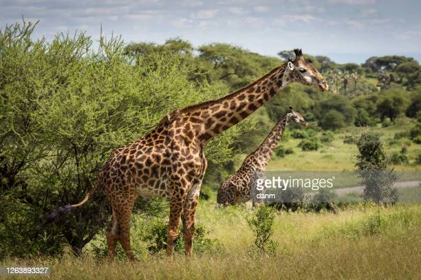 beatiful girrafe during safari in tarangire national park, tanzania. - erbivoro foto e immagini stock