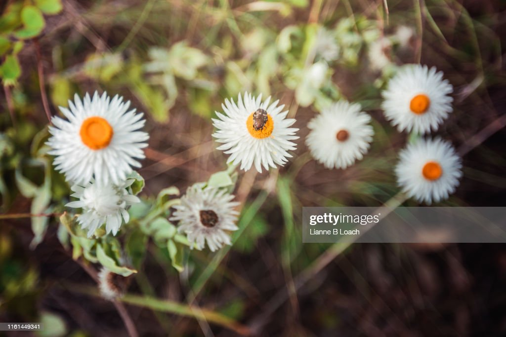 Beatle Flower : ストックフォト