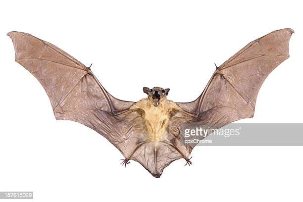 bat - bat animal stock pictures, royalty-free photos & images