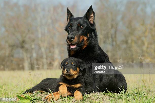 Beauceron Canis familiaris mother and puppy