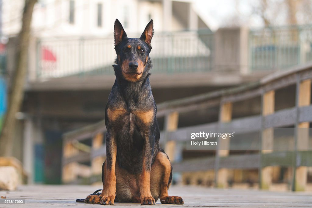 Beauceron with cropped ears : Stock Photo