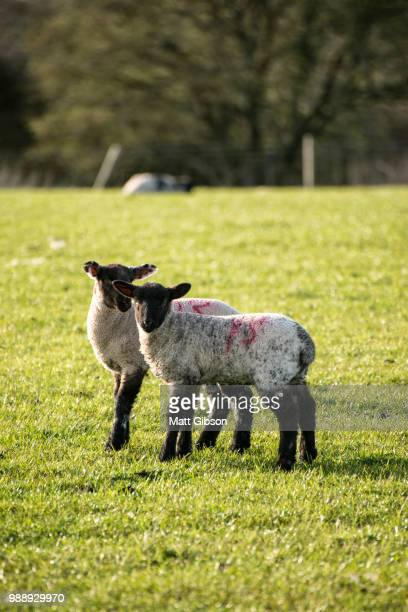 Beauitful landscape image of newborn Spring lambs and sheep in f