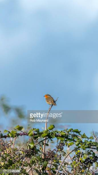 beauitful red robin trees in nature reserve - publisher stock pictures, royalty-free photos & images