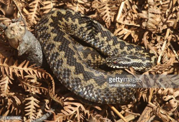 a beautiful adder (vipera berus) snake just out of hibernation basking in the morning sunshine. - hibernation stock pictures, royalty-free photos & images