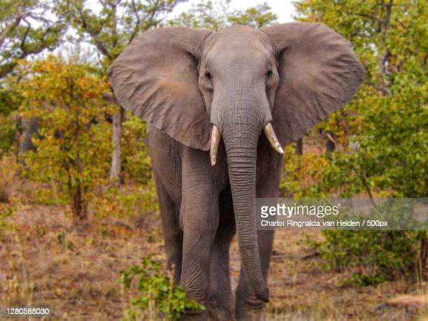 beautiful african elephant walking on the grass - reizen stock pictures, royalty-free photos & images