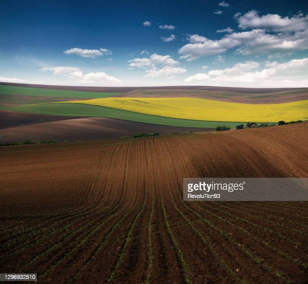 beautiful agricultural field in spring - sorghum stock pictures, royalty-free photos & images