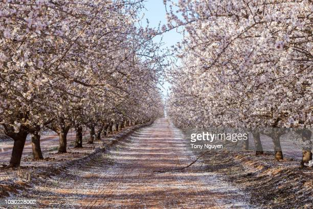 beautiful almond blossom in australia. - almond orchard stock photos and pictures