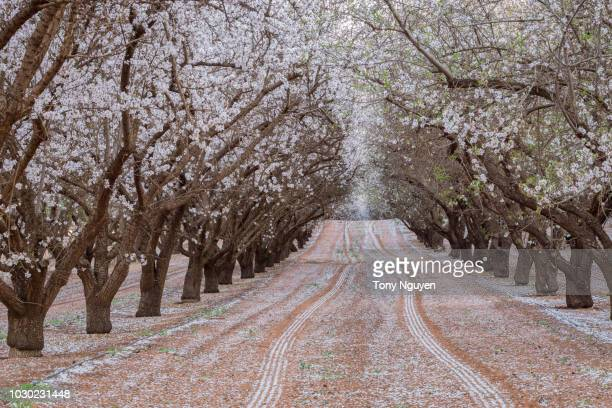 beautiful almond blossom in australia. - adelaide festival stock pictures, royalty-free photos & images