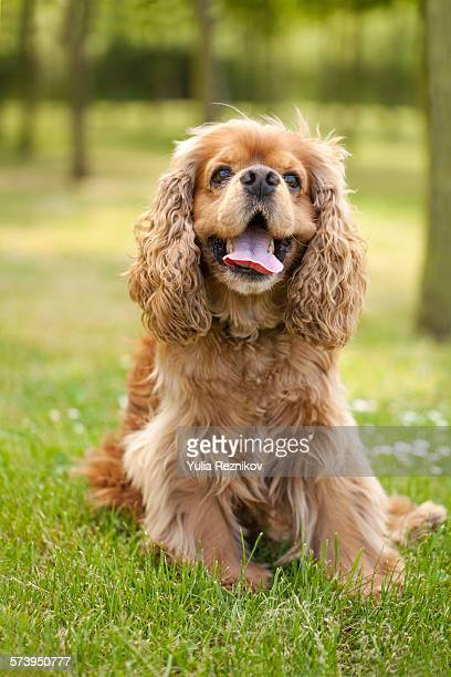 beautiful american cocker spaniel dog - cocker spaniel stock photos and pictures