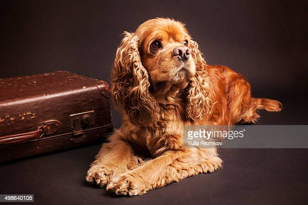 Beautiful American Cocker Spaniel dog with case