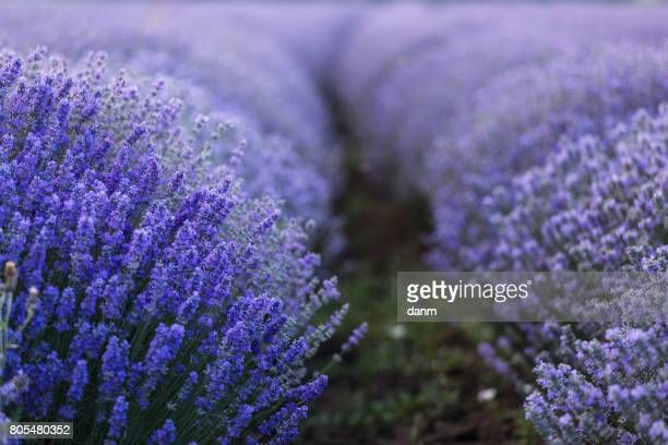 Beautiful and colourful lavander field