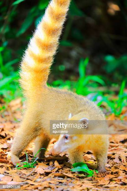 Beautiful and Cute Coati, mammal raccoon with long ring tail, walking in Iguacu, Parana – Brazil, border with Argentina, South America