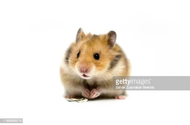 beautiful and friendly brown syrian hamster on a white background - hamster photos et images de collection