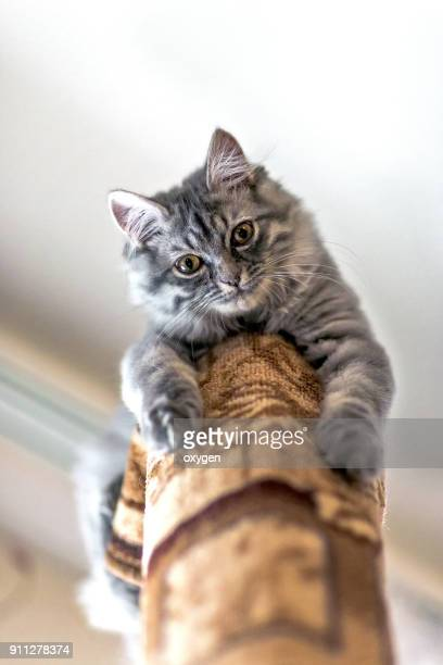Beautiful and funny little gray Cat at the Top of the tube