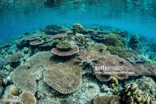 A beautiful and healthy coral reef grows in Raja Ampat, Indonesia.