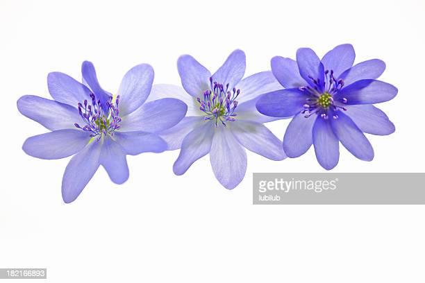 美しい anemone 花-白 Hepatica ノブリス
