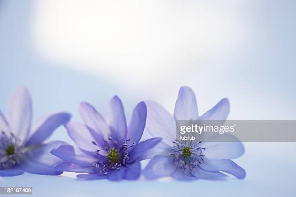Beautiful anemone flowers - Hepatica Nobilis on white