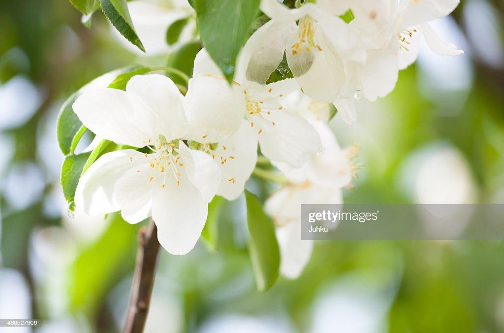 Wunderschöne apple Baum Blumen : Stock-Foto