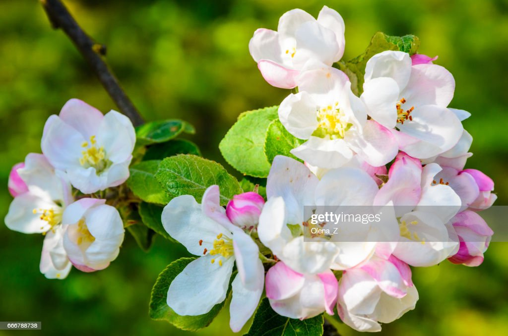 Beautiful Apple Tree With Blooming Flowers In Spring Day Stock Photo