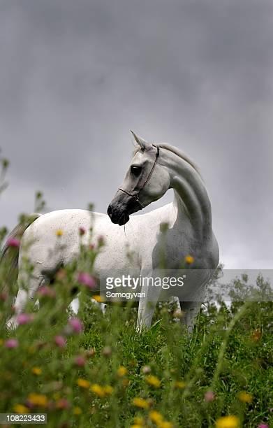Beautiful arabian breeding mare