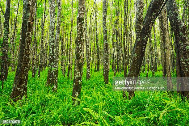 Beautiful ash trees and native ferns in the Makawao Forest Reserve