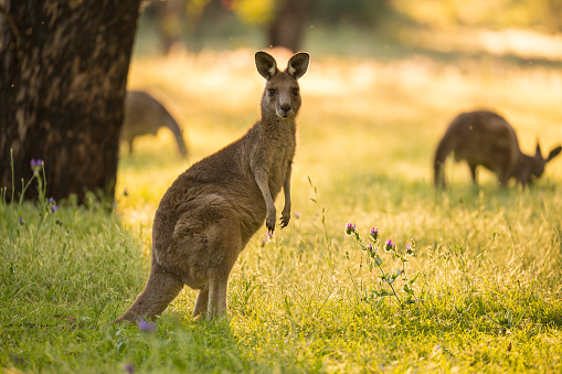 Beautiful Australian Eastern Grey Kangaroo Bathes in afternoon light 675247888