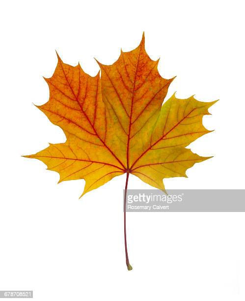 Beautiful autumn colours in Norwegian Maple leaf
