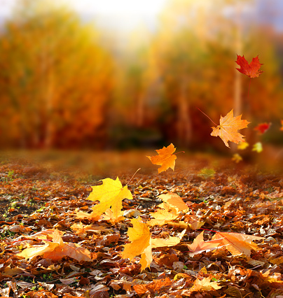 Beautiful autumn landscape with yellow trees and sun. Colorful foliage in the park. Falling  leaves natural background .Autumn season concept 1041811070