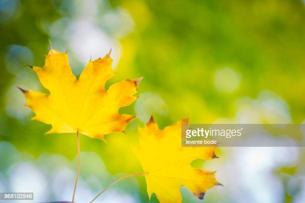 Beautiful autumn leaves in pair, fall and autumnal background concept. Idyllic seasonal close up. Nature colorful leaves