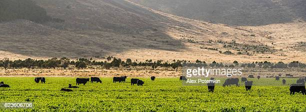Beautiful autumn scenic landscape with cows on pasture, Utah, October.