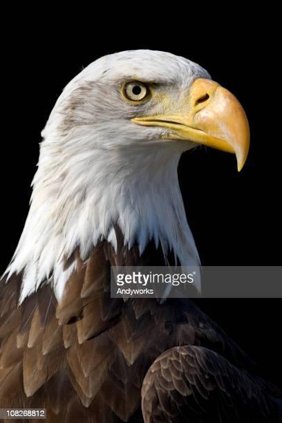 Wunderschöne Weißkopfseeadler Eagle
